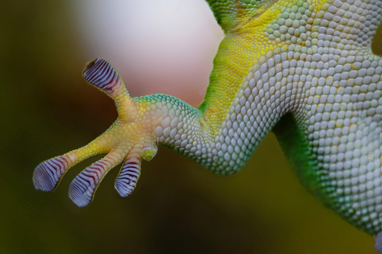 Est-ce la patte du gecko, capable de tenir à la verticale sur les rochers et sur le verre, qui a inspiré les concepteurs du G One ? Je ne sais… - phot internet libre de droits